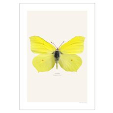 Picture Brimstone Butterfly